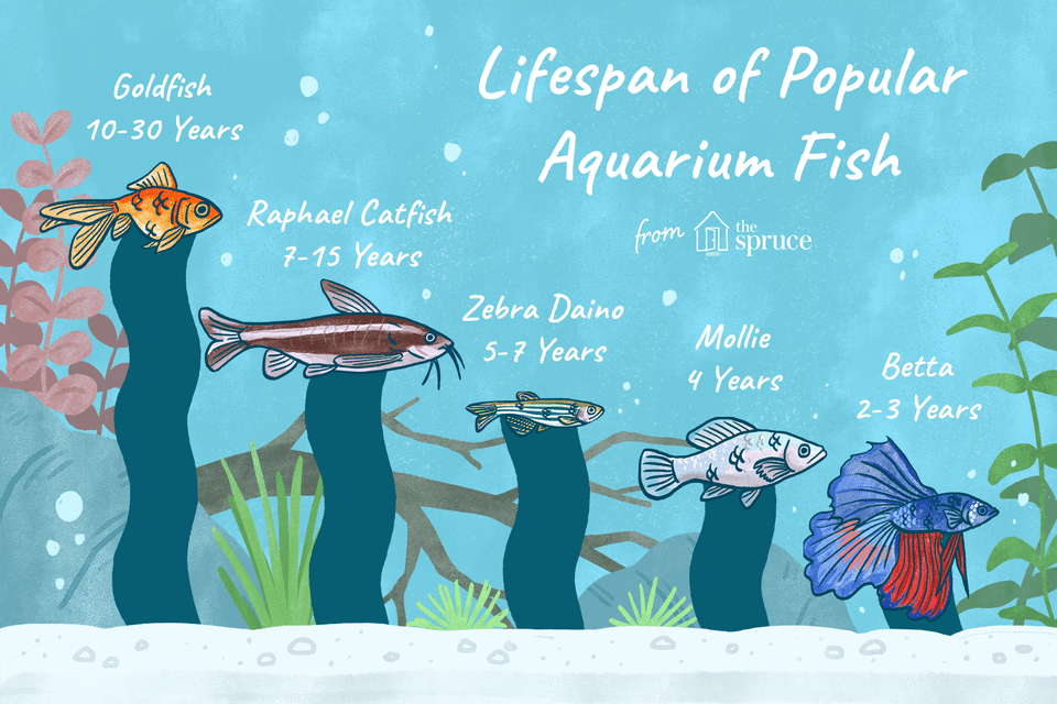 Illustration of the lifespan of popular aquarium fish