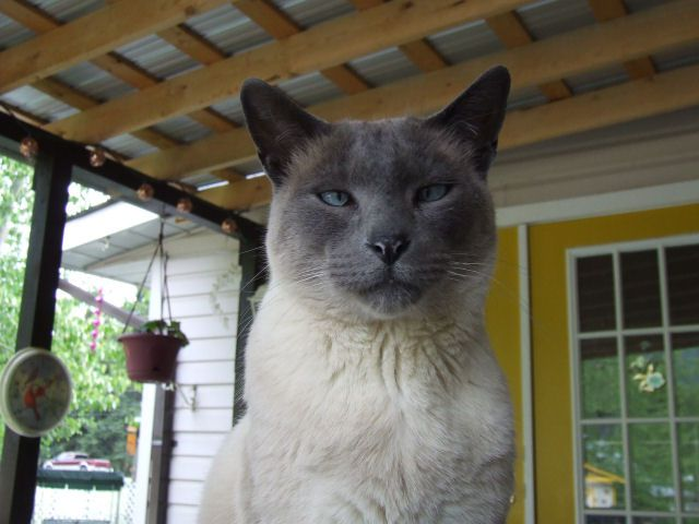 Picture of Siamese cat Buddy