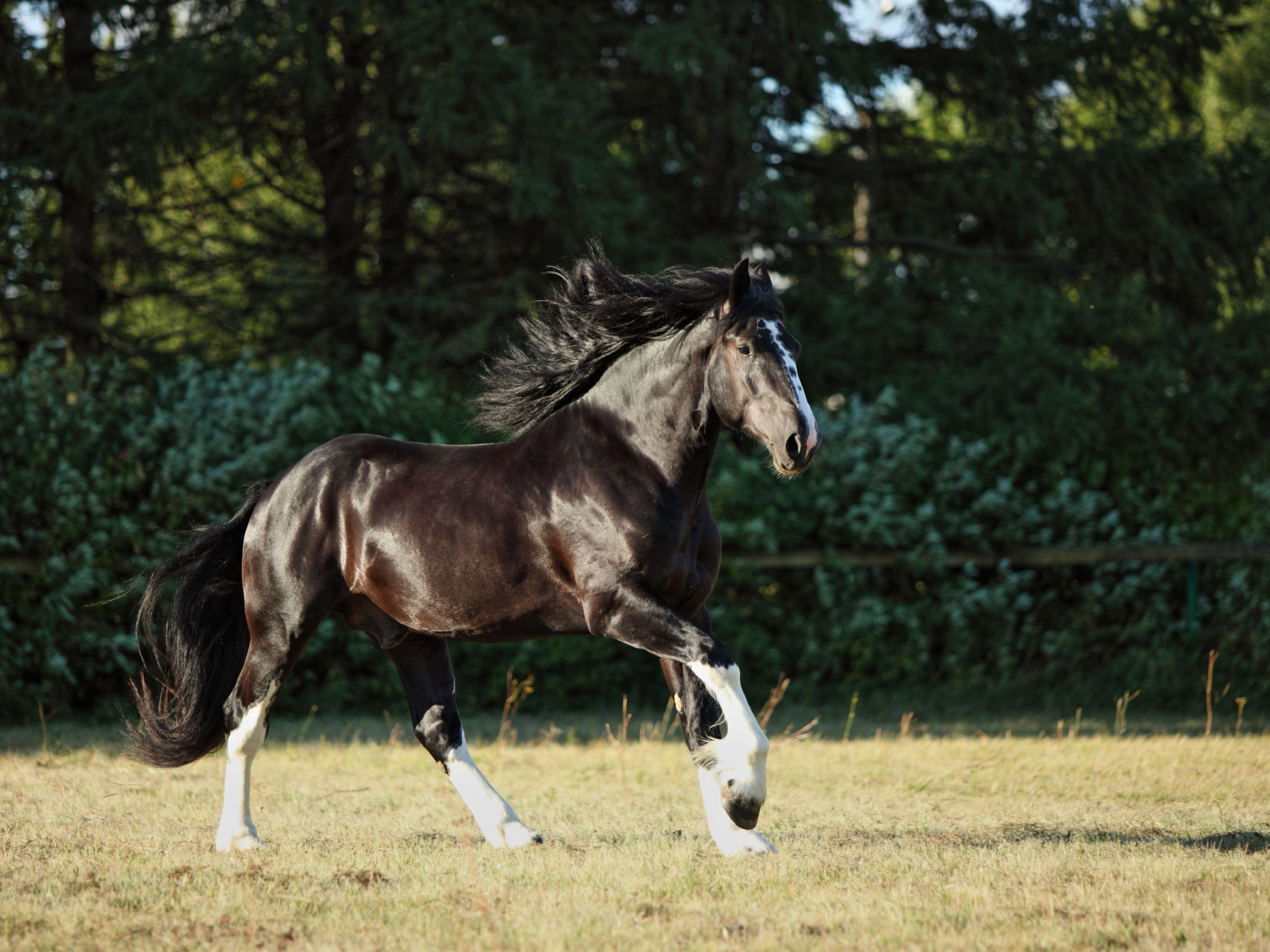 Shire Horse Breed Profile