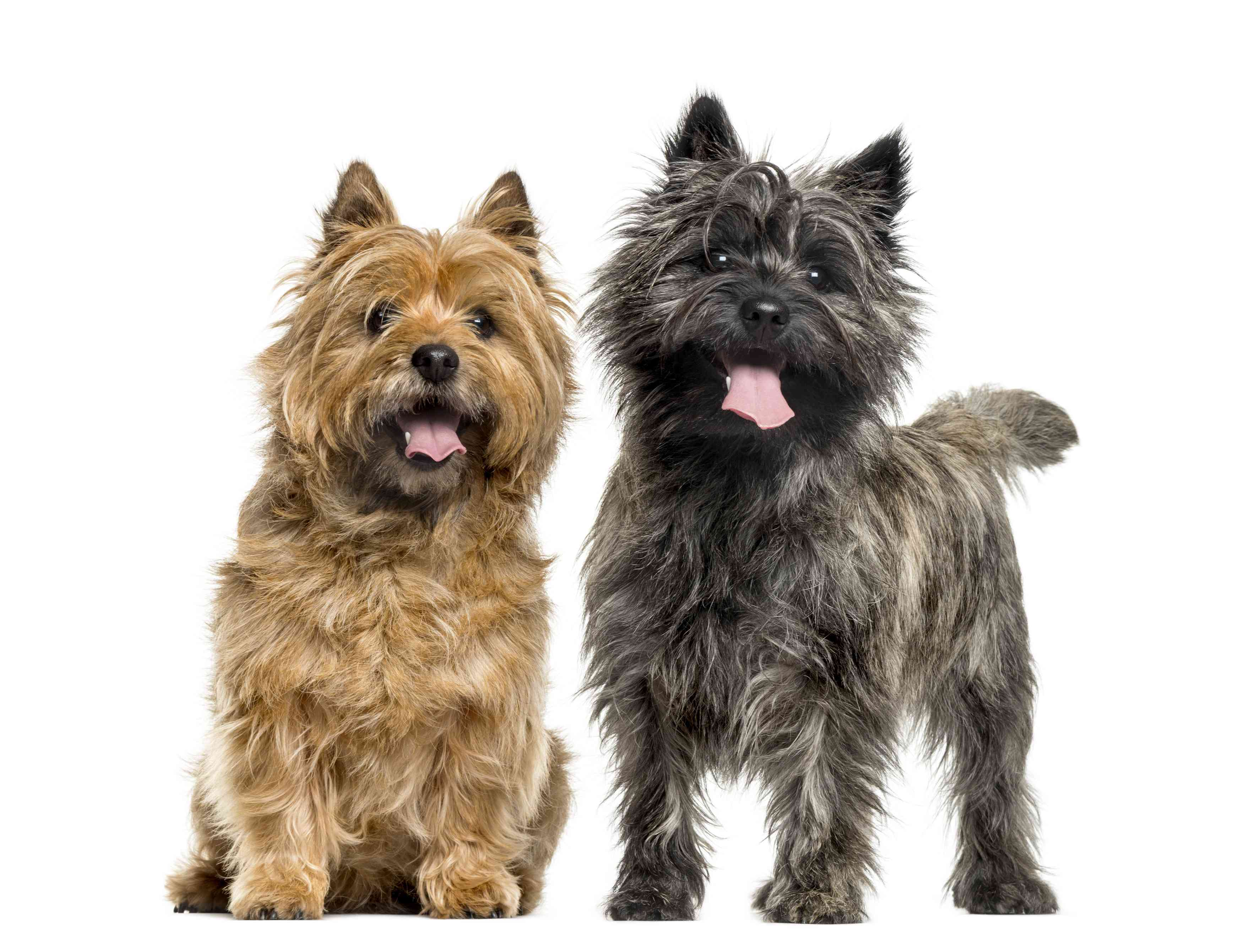 Two Adult Cairn Terriers