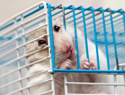 Hamster chewing on metal cage bar.