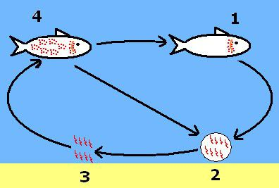 Diagram of the 4-stage life cycle of Cryptocaryon irritans, commonly known as Saltwater Ich or White Spot Disease.