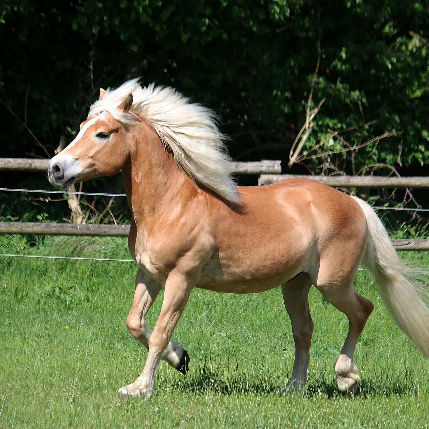 Haflinger Horse Breed Profile