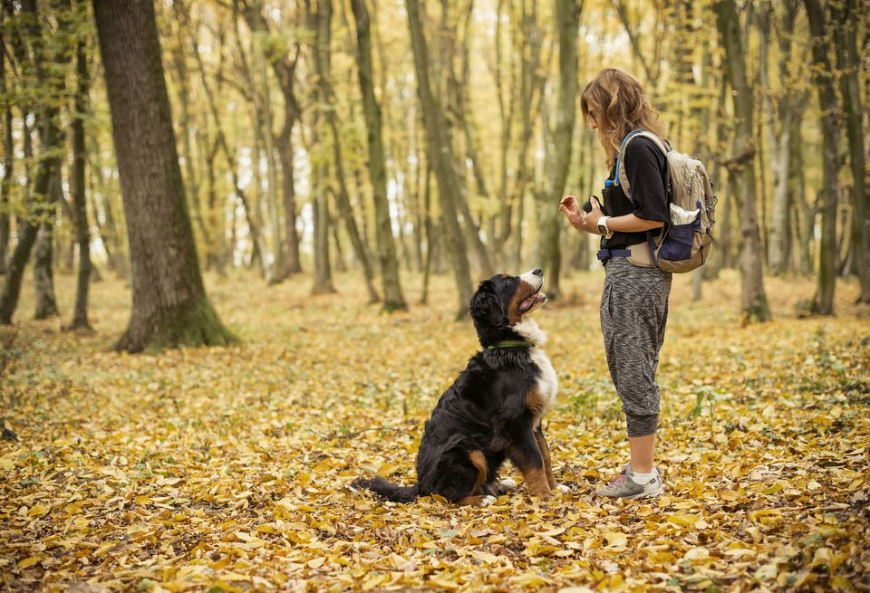 A young woman teaches her young Bernese Mountain Dog how to sit while in a forest.