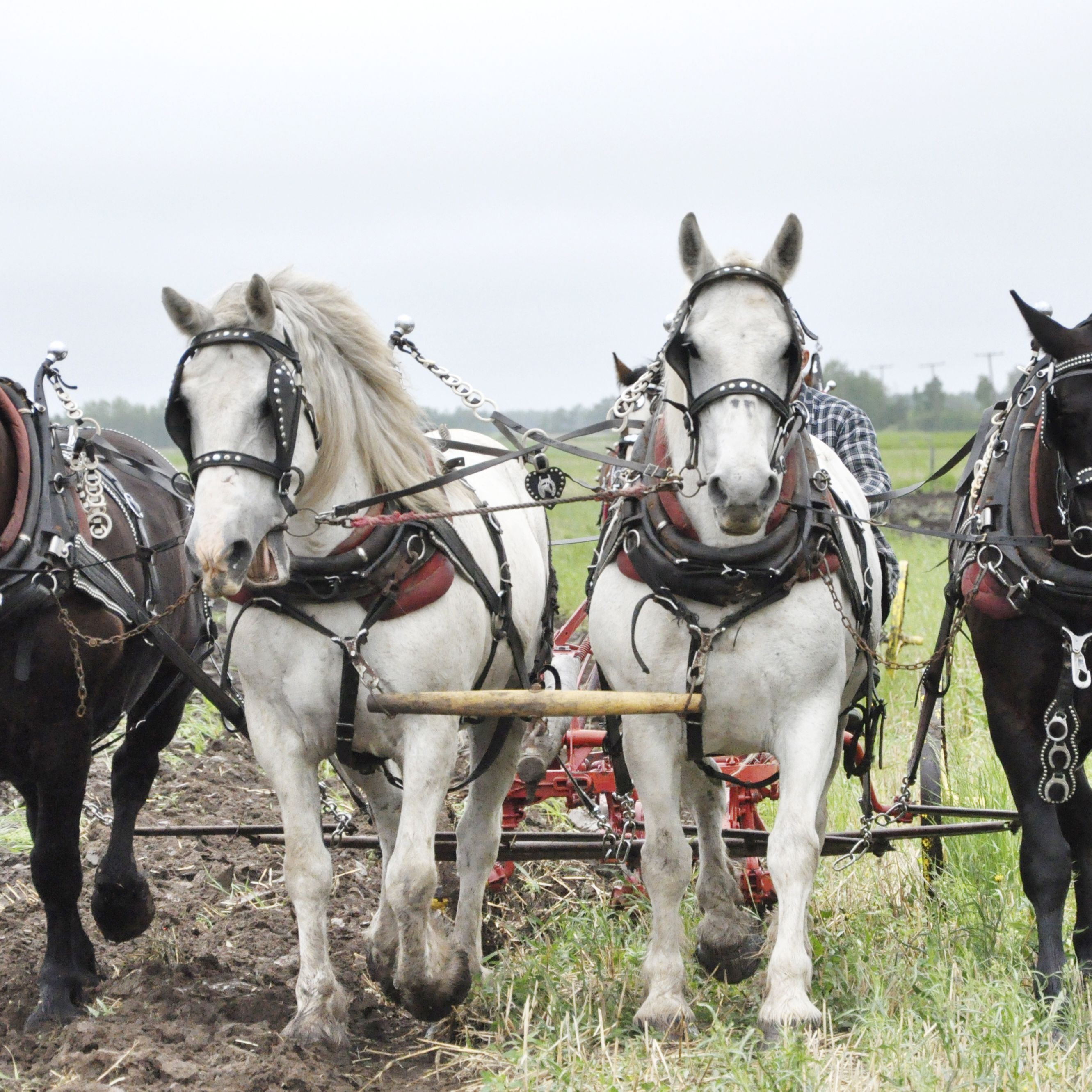 The Best Driving Horse Breeds For Pulling A Carriage