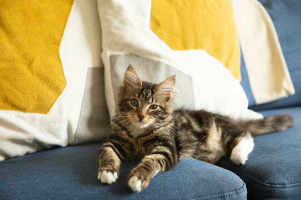 Brown and tan striped kitten laying on a blue couch with white and yellow throw pillows