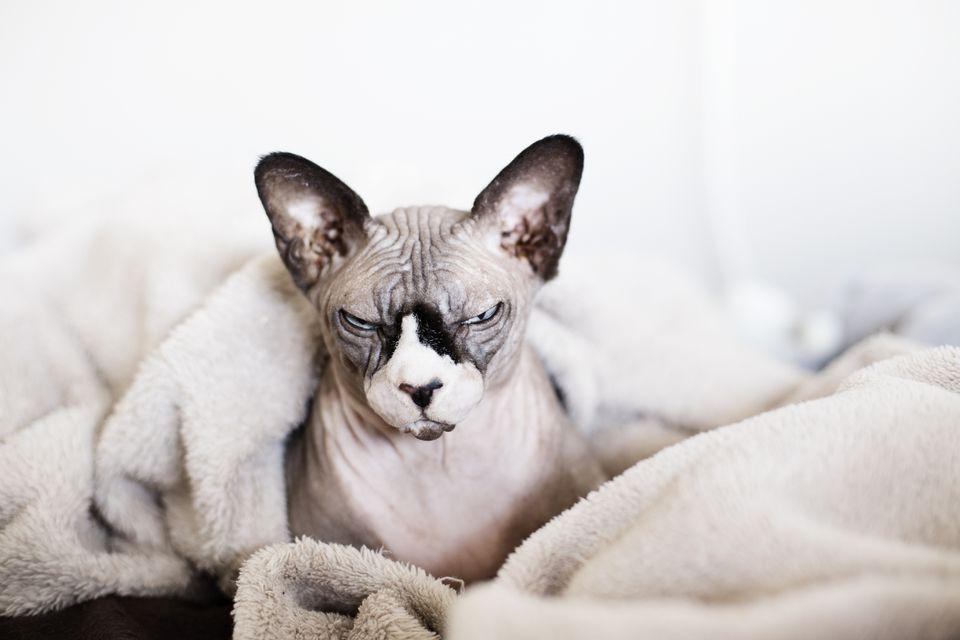 Gato Sphynx después de un baño