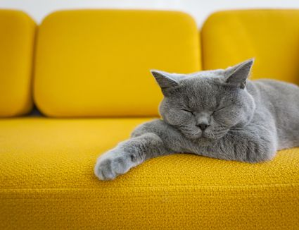 A blue British Shorthair cat snoozing on a bright yellow couch.