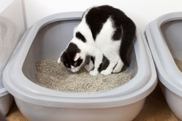 cat eating litter