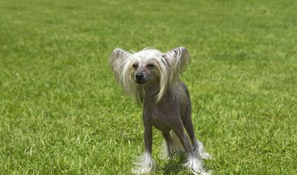 Chinese crested dog in the grass - France,