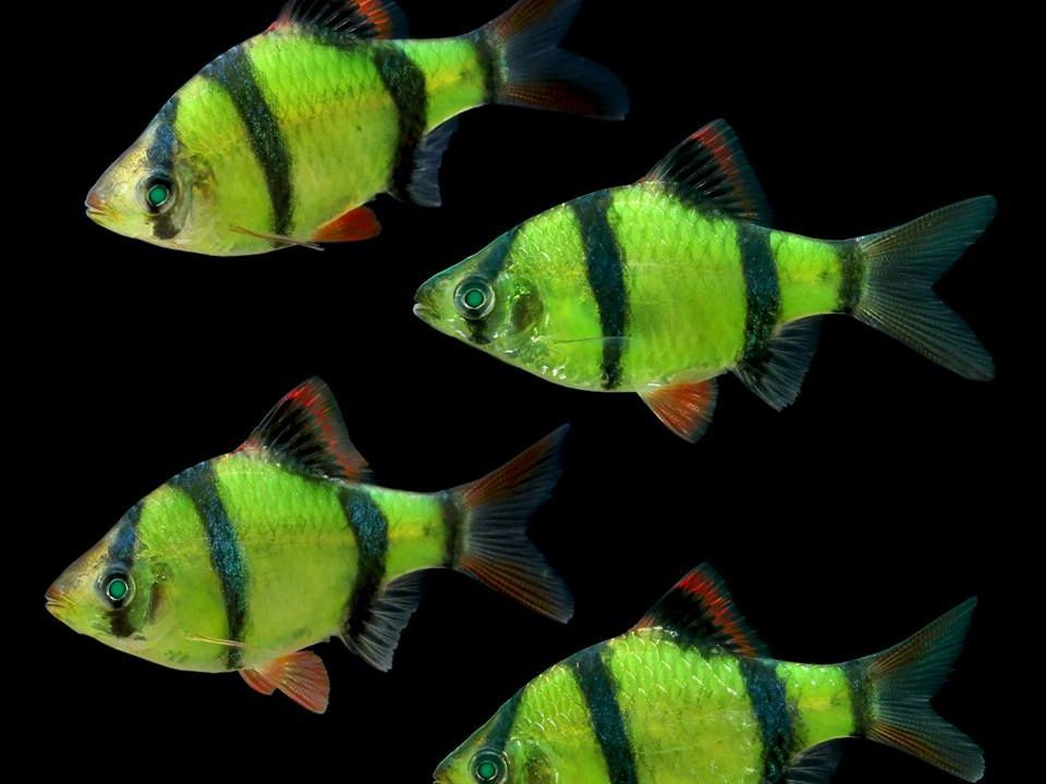 Transgenic Glow In The Dark Fish