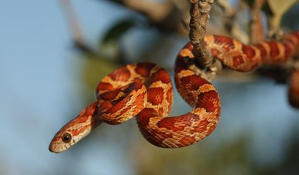 Corn Snake from the Lower Florida Keys