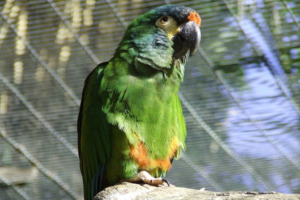 Illiger Macaws