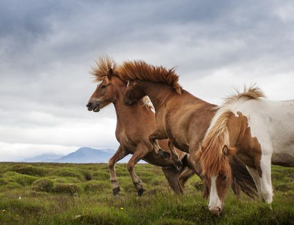 Fighting and rearing horses