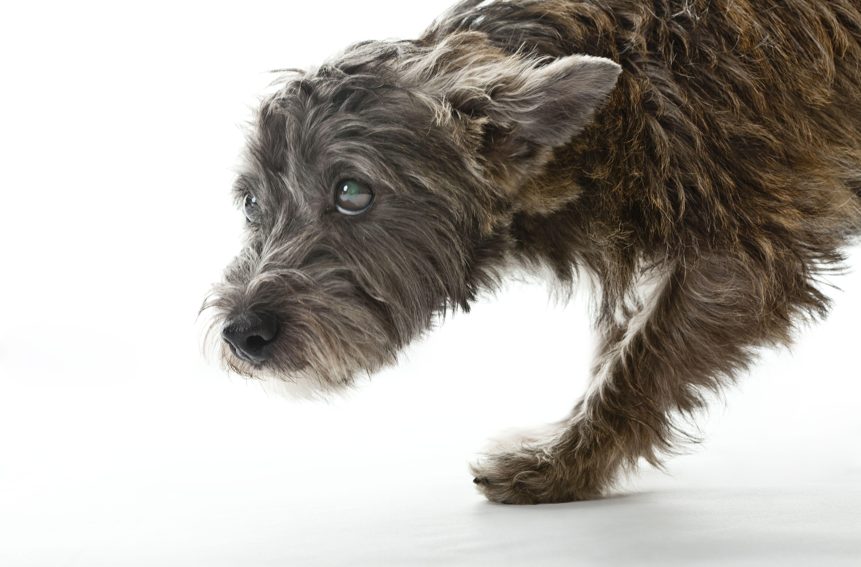 Un terrier demostrando lenguaje corporal temeroso , Un perro ladrando a un extraño que muestra un lenguaje corporal agresivo , Un fox terrier se acerca a un cocker spaniel acostado boca arriba en una posición sumisa mientras juega a pelear .