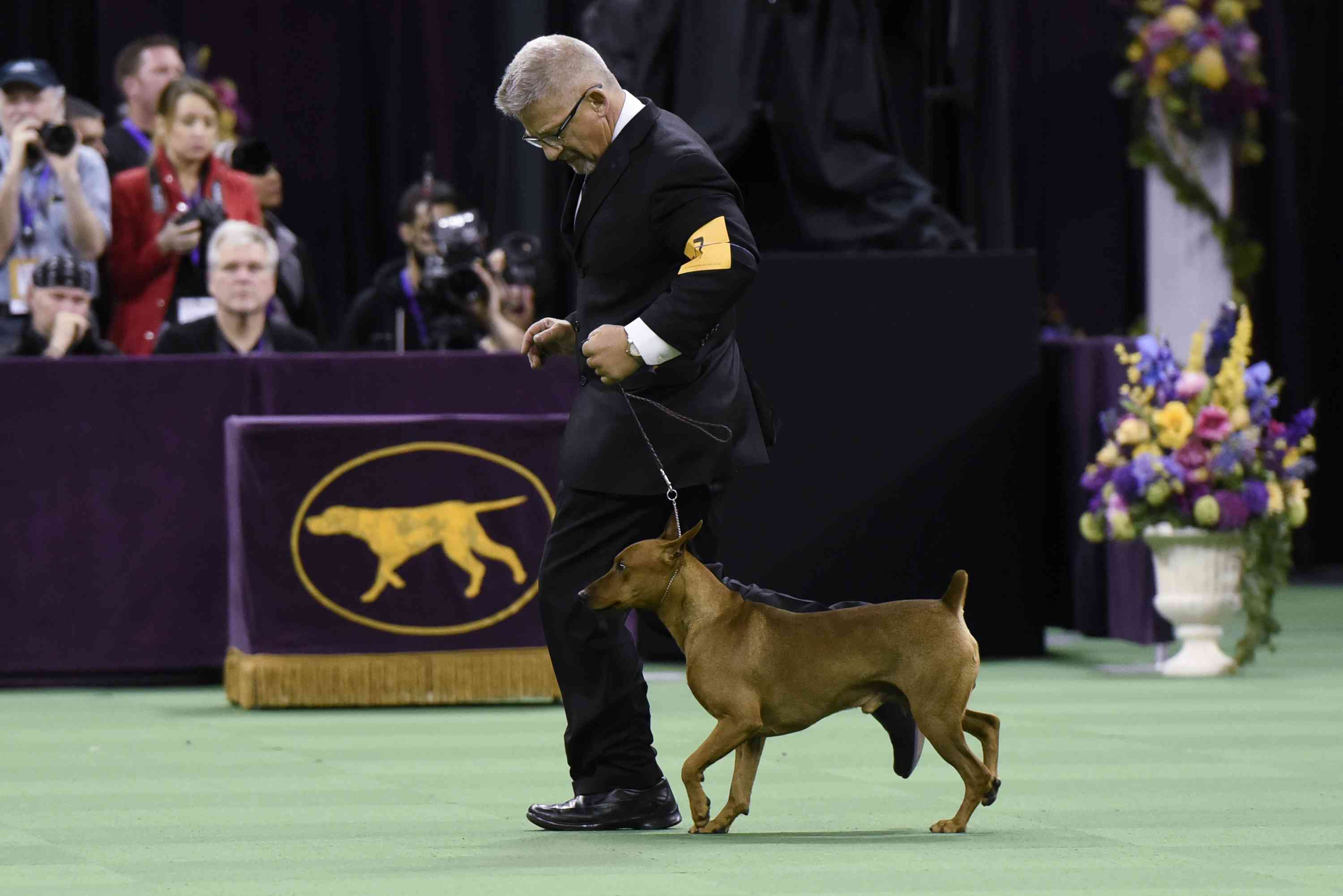 German Pinscher competing in the Working Group at the 140th Annual Westminster Kennel Club Dog Show in 2016