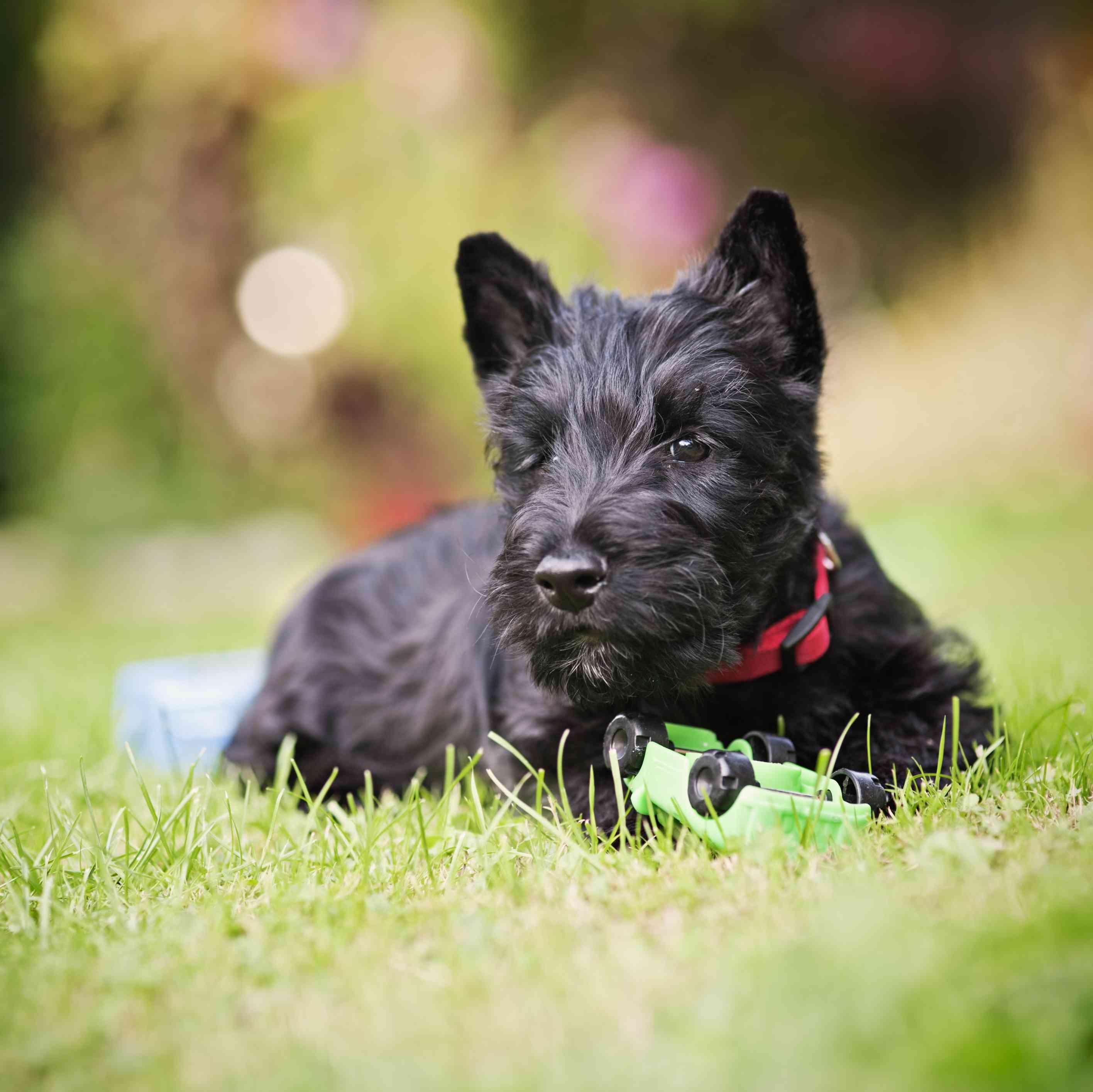 Scottish terrier puppy outside