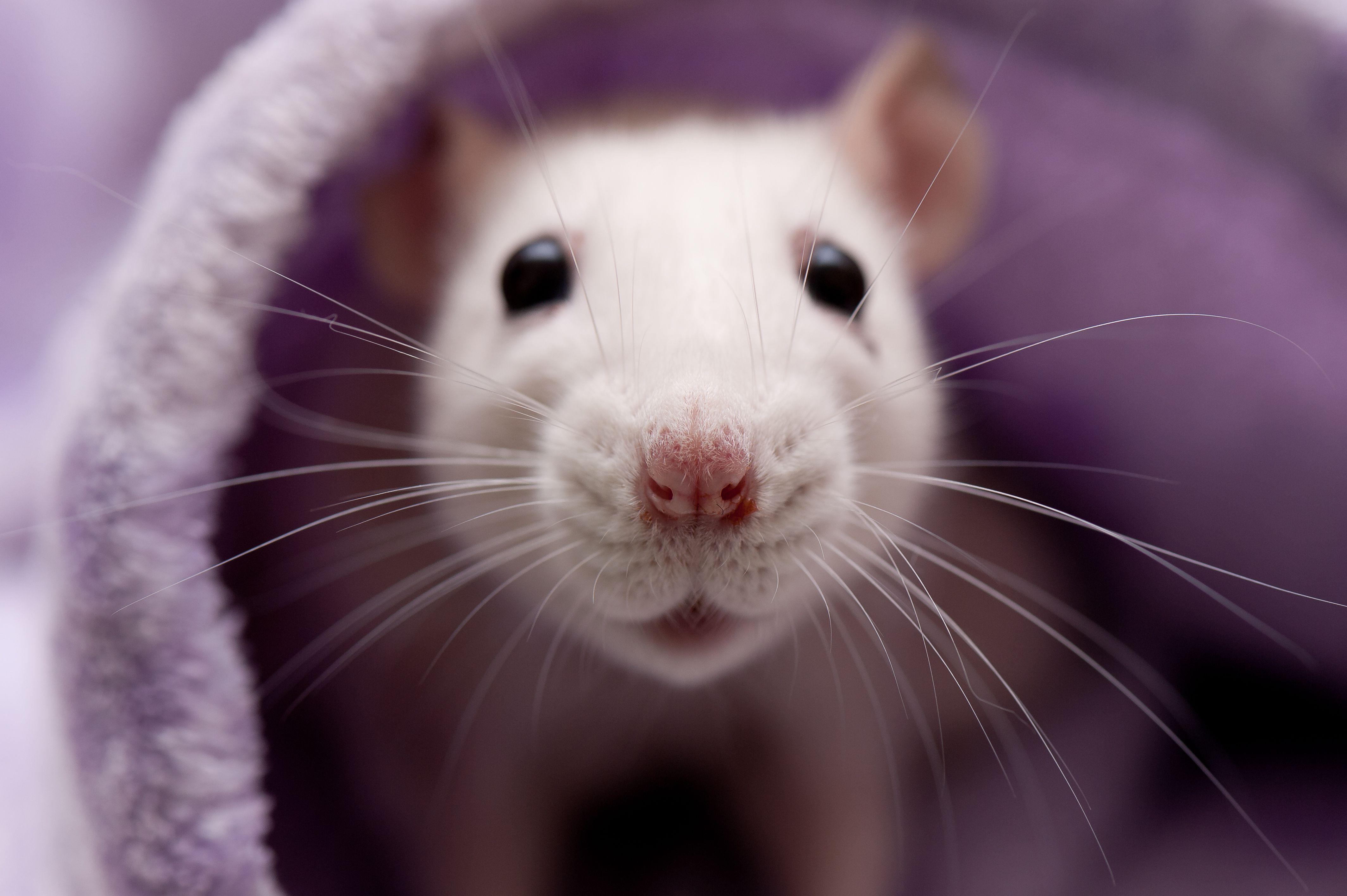 rat intelligence keeping your smart rat happy. Black Bedroom Furniture Sets. Home Design Ideas