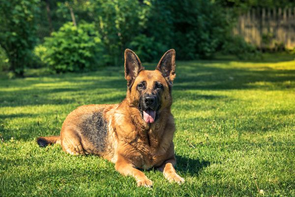 German shepherd dog laying down on grass