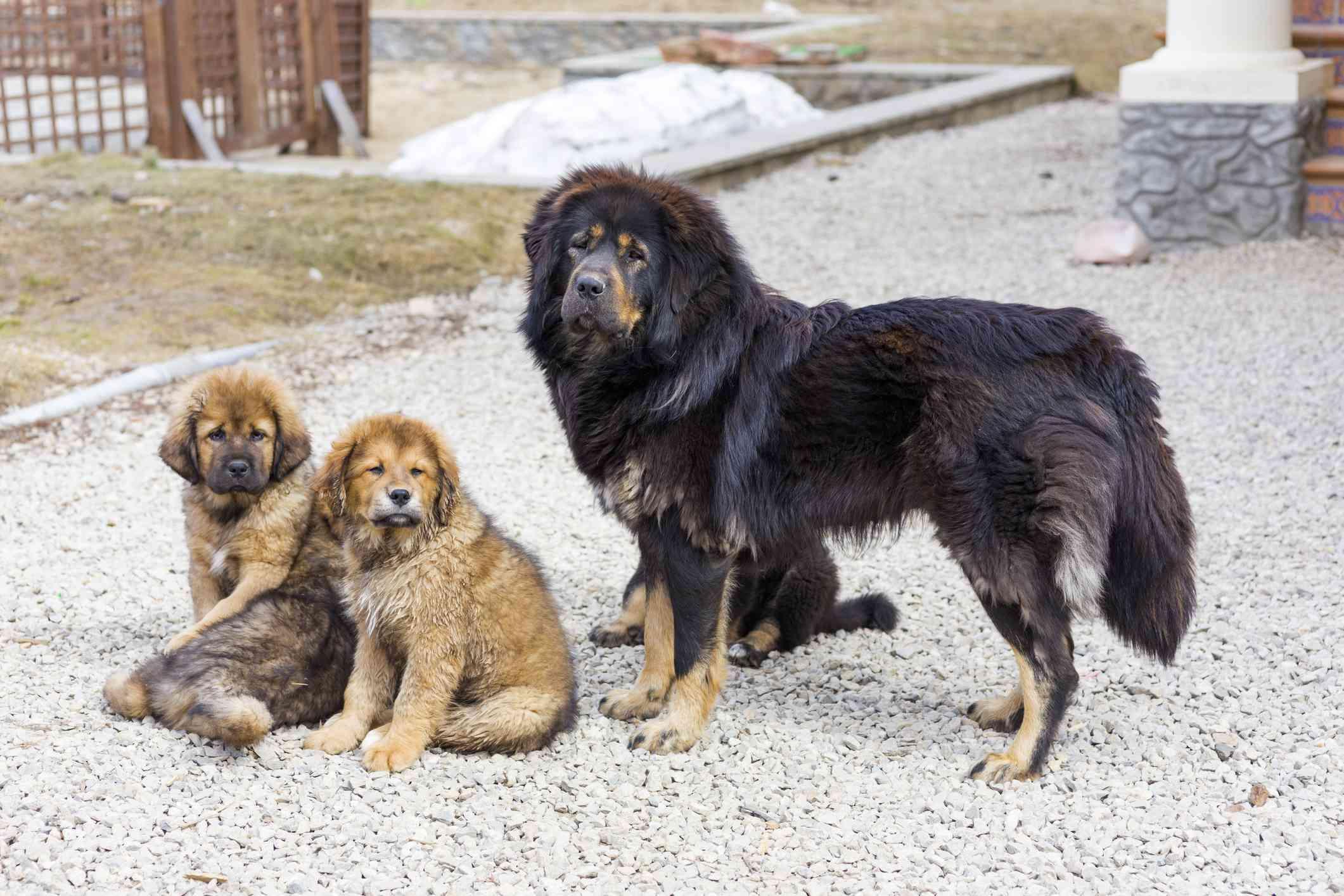 Tibetan Mastiff adult and puppies