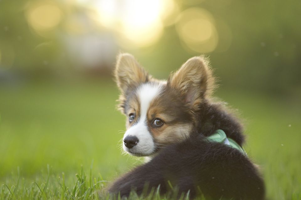 Fluffy corgi puppy looks back