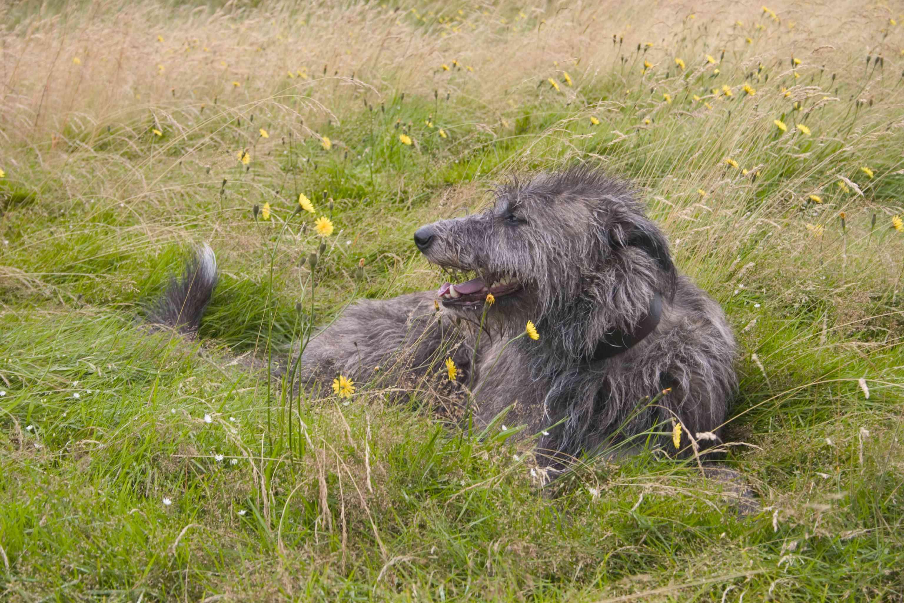 Scottish deerhound lying in the grass