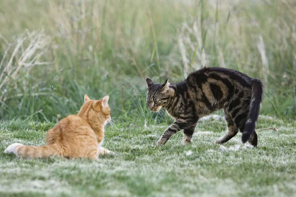 Two domestic cats (Felis catus), one arching its back