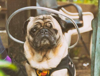 A blind dog wearing a halo collar