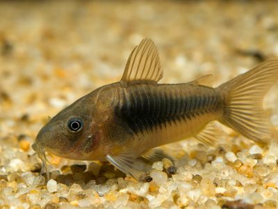 Upside-Down Catfish Fish Breed Profile