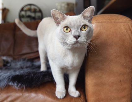 Light tan Burmese cat with yellow eyes on brown leather couch