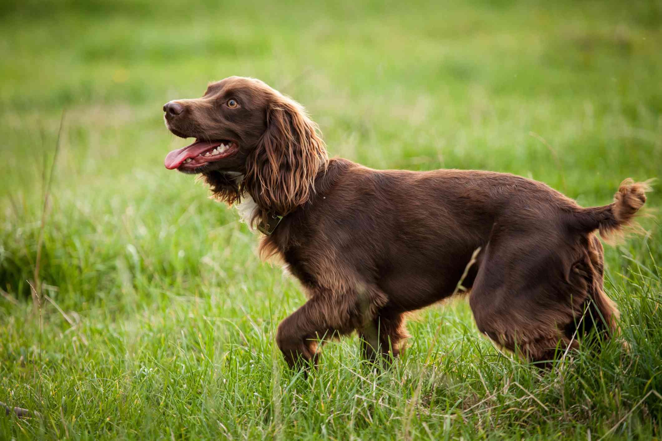 Boykin Spaniel in the field