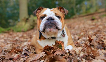 bulldog in a pile of leaves