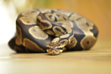Feeding Your Pet Ball Pythons