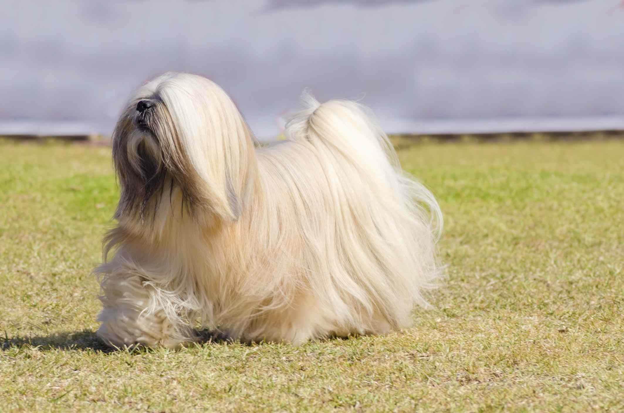 Lhasa Apso walking in the grass, side profile.
