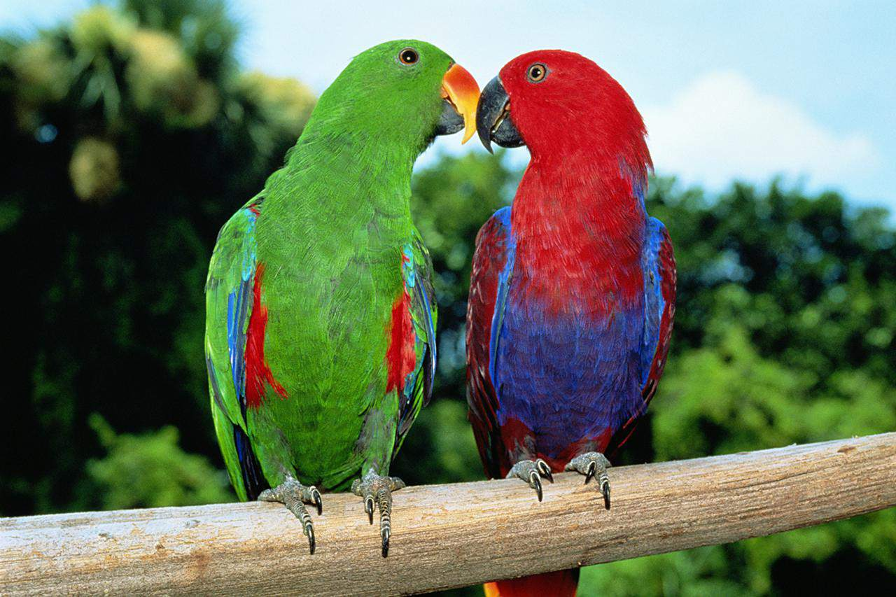 male and female eclectus parrots on a perch