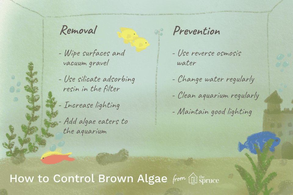 Brown algae in aquariums