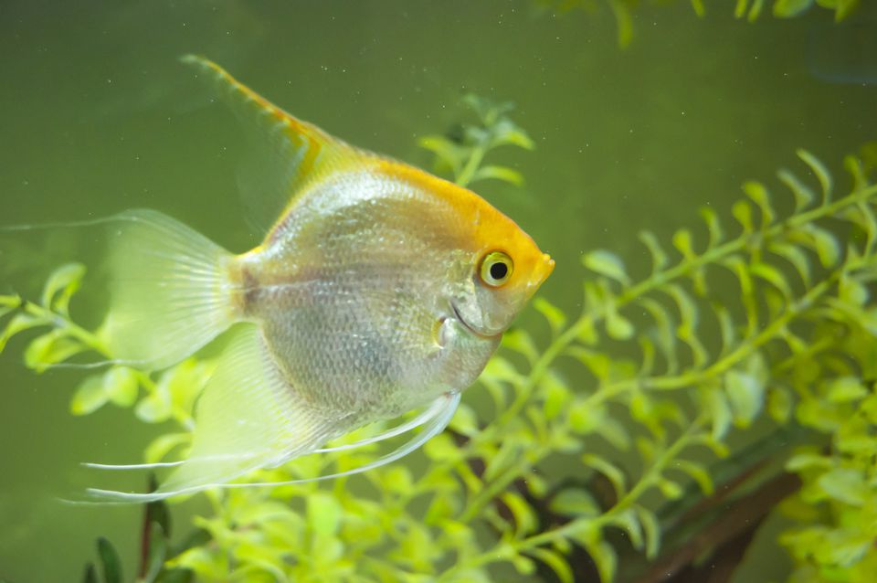 Angel Fish Swimming in fishtank with floating plants ( Pterophyllum scalare)
