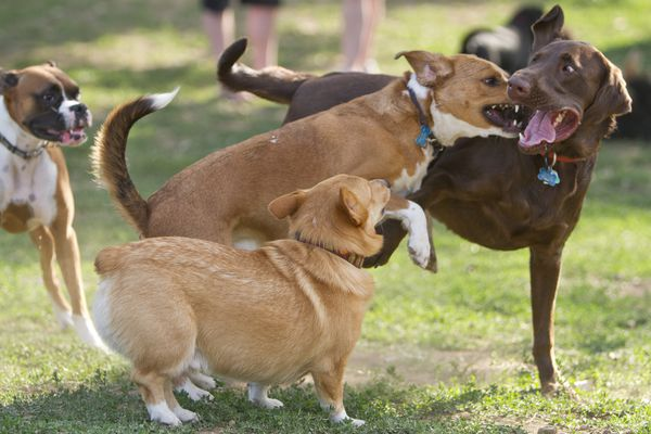 dogs playing at dog park