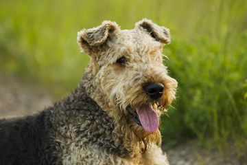 Airedale terrier headshot in front of grass