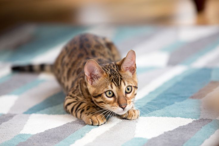 How To Remove Cat Smell From Hardwood Floors Carpet