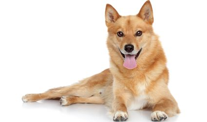 Finnish Spitz dog laying down