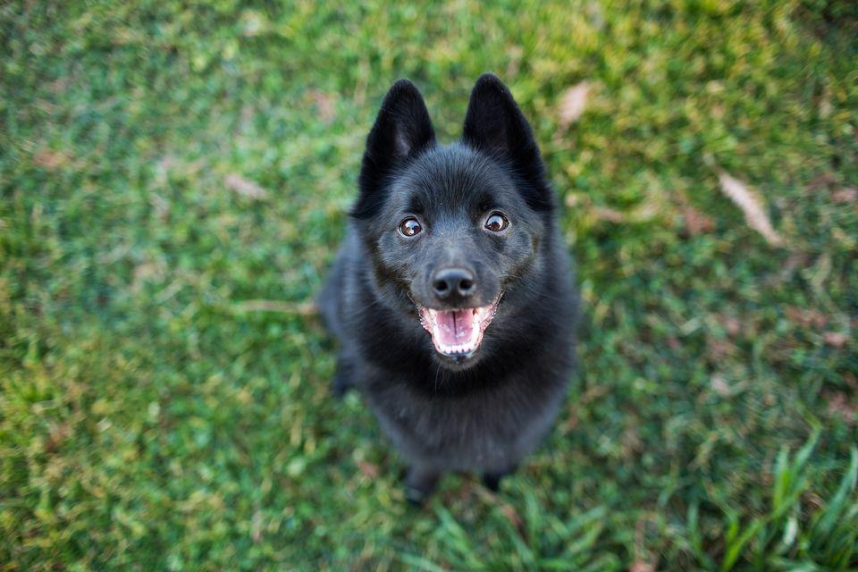 Perro Schipperke feliz mirando hacia arriba con la boca abierta