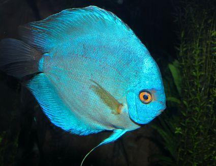 Symphysodon aequifasciatus - Blue Discus
