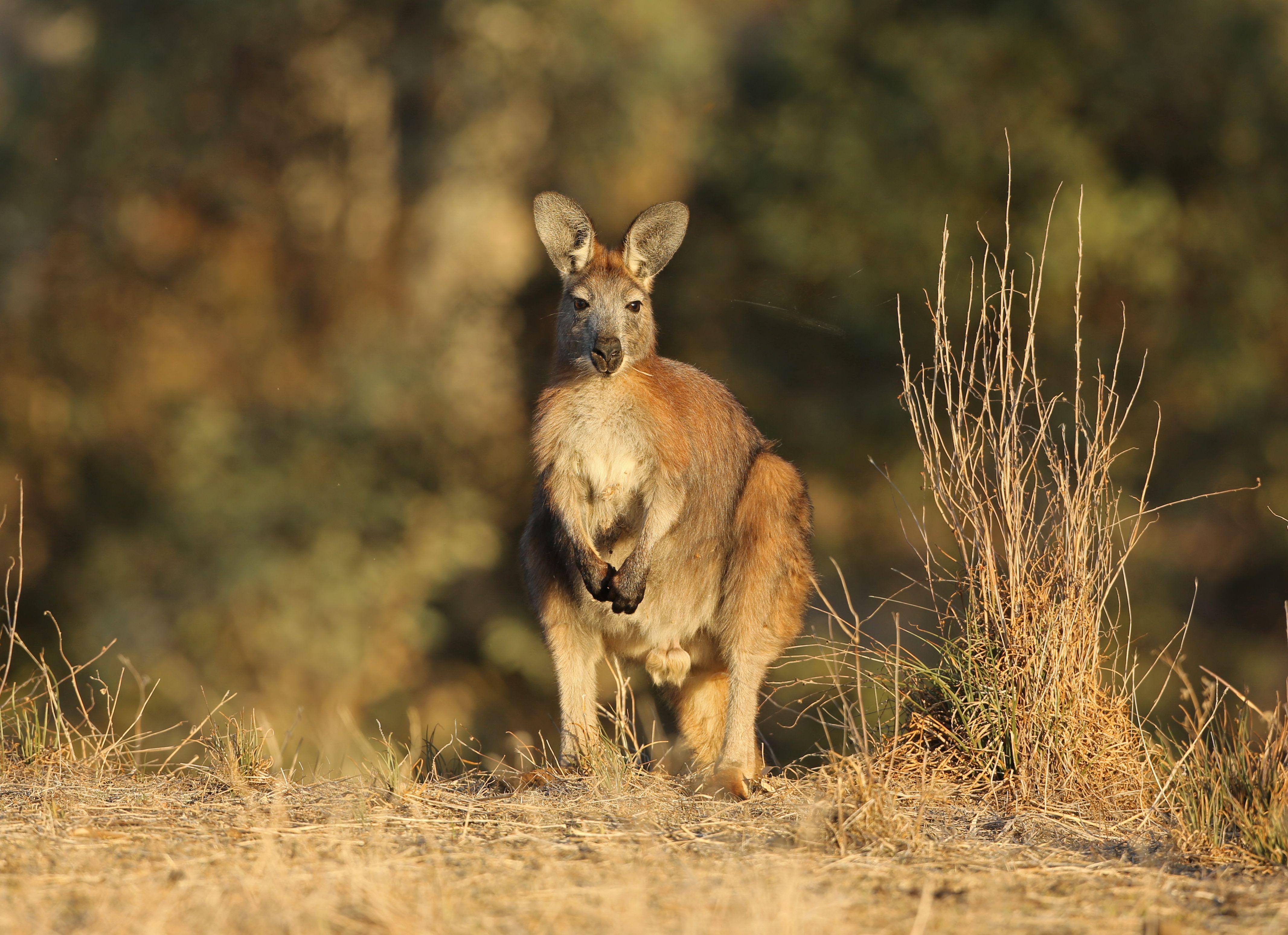 Wallaroo in the Flinders Ranges