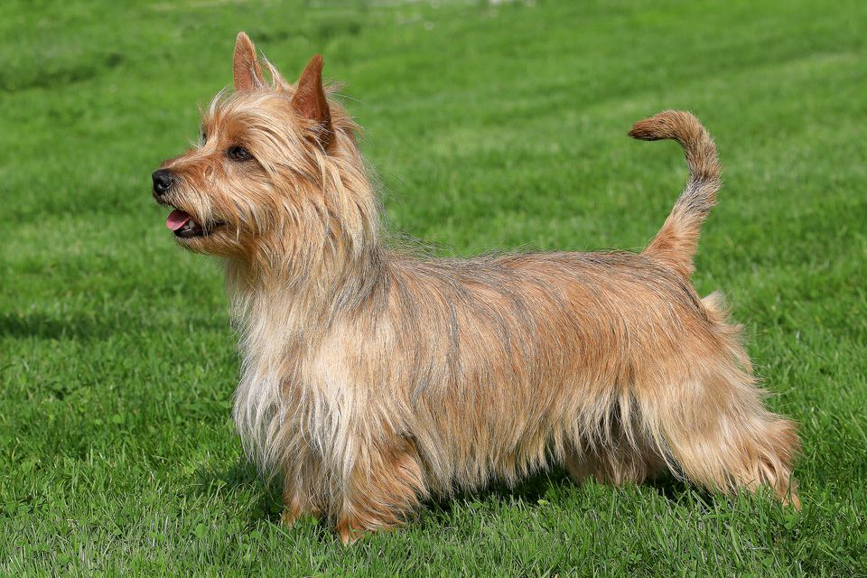 Side shot of an Australian Terrier