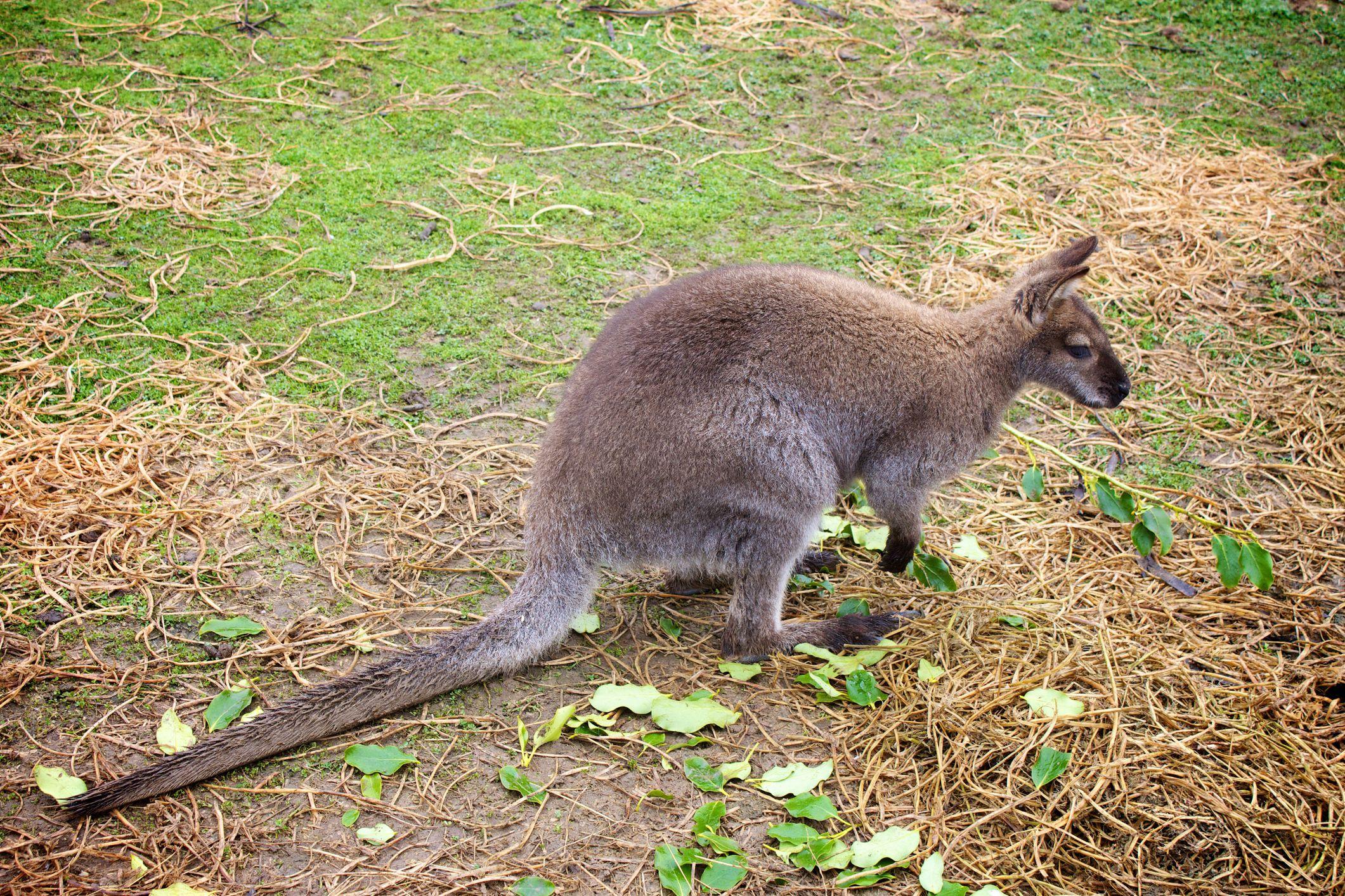Wallaby kangoo