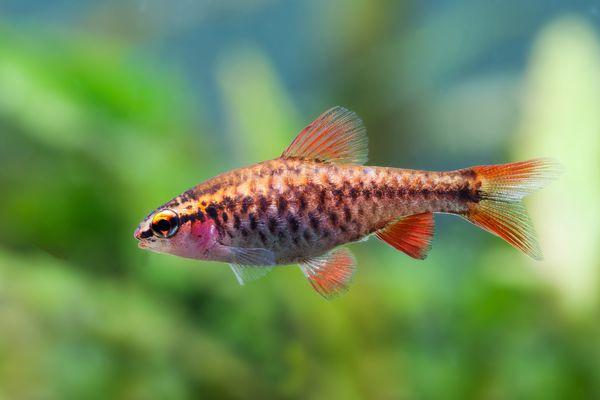Cherry barb in an aquarium