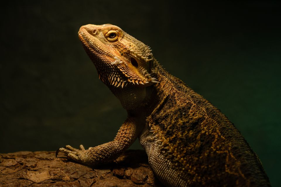 Bearded dragon on log