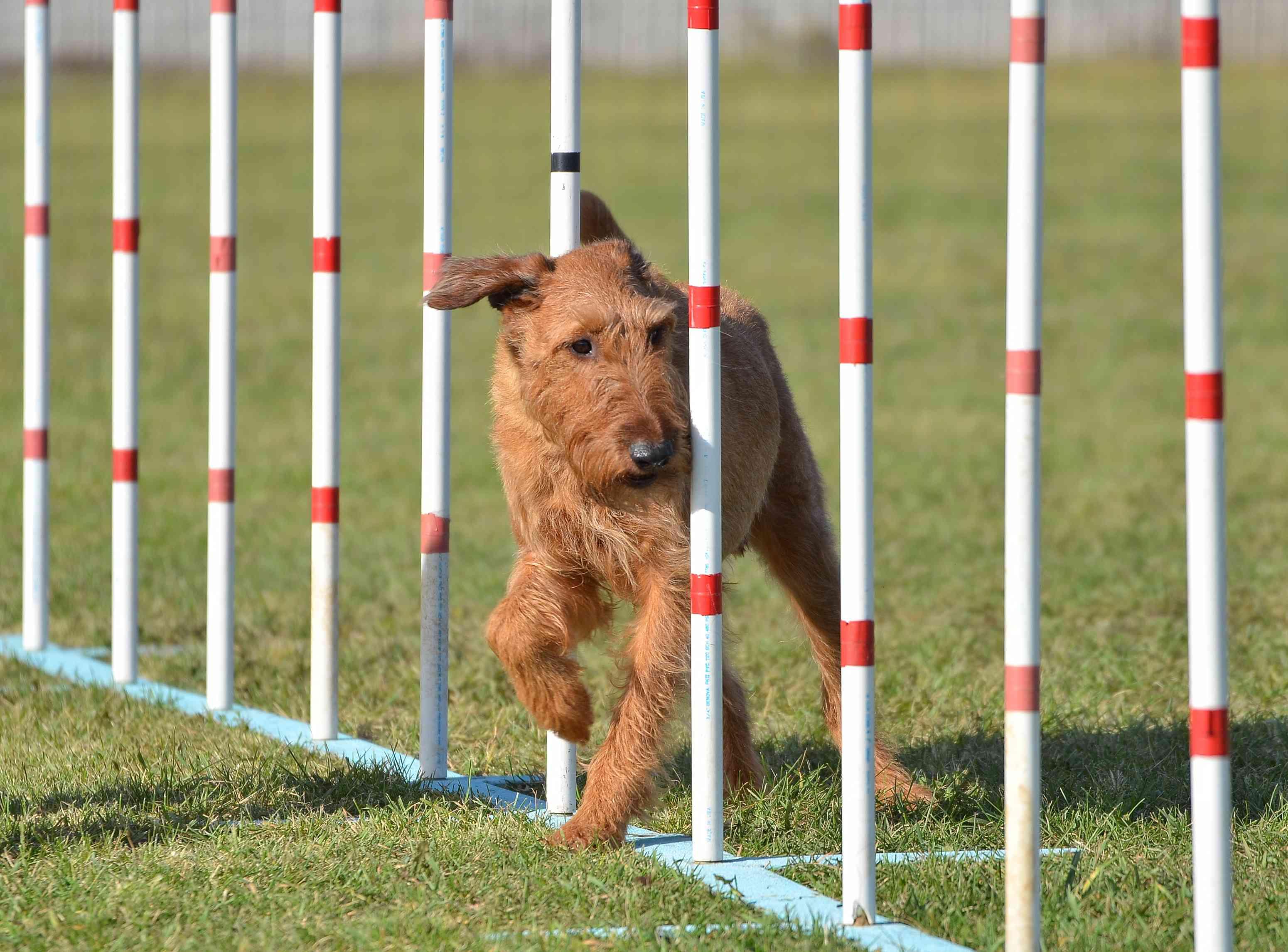 Irish Terrier moving through agility weave poles
