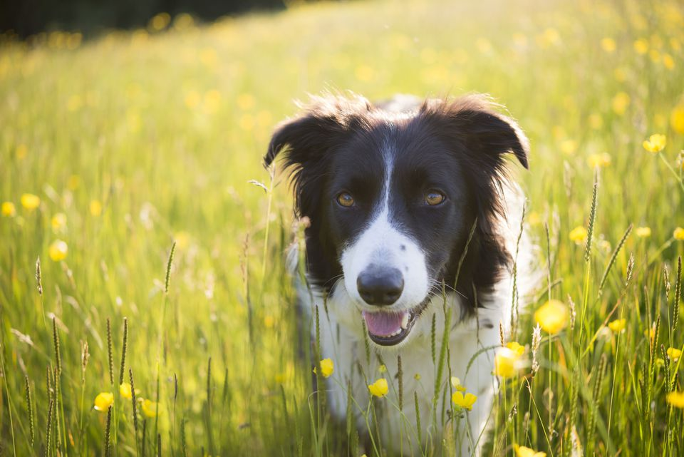 Un Border Collie en un campo de flores.